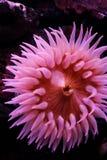 θάλασσα anemone στοκ εικόνες