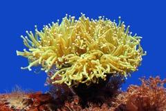 θάλασσα anemone Στοκ εικόνες με δικαίωμα ελεύθερης χρήσης
