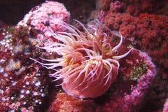 θάλασσα anemone στοκ φωτογραφία