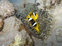 θάλασσα anemone anemonefish Στοκ φωτογραφία με δικαίωμα ελεύθερης χρήσης