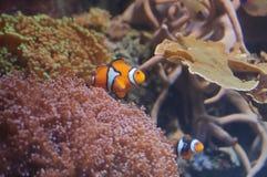 θάλασσα anemone clownfishes Στοκ Φωτογραφίες