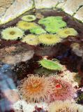 Θάλασσα anemones στα παράκτια νερά Reynaudi Bunodactis Στοκ Φωτογραφία