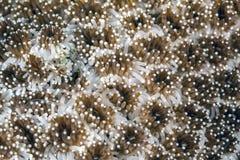 Θάλασσα anemones υποβρύχια Στοκ φωτογραφία με δικαίωμα ελεύθερης χρήσης