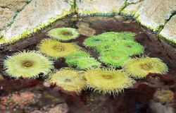 Θάλασσα anemones Στοκ Φωτογραφίες