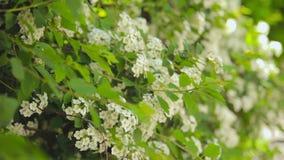 Θάμνοι και δέντρα με τα άσπρα λουλούδια στο πάρκο φιλμ μικρού μήκους