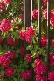 Θάμνοι με τα κόκκινα τριαντάφυλλα στοκ φωτογραφία