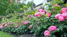 Θάμνοι με τα μέρη των ρόδινων τριαντάφυλλων Η μετακίνηση καμερών το καθιστά πιθανό να δει πώς το βίντεο προγραμματίζει μπροστινό  απόθεμα βίντεο