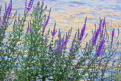 Θάμνοι με τα μικρά ιώδη λουλούδια στην όχθη ποταμού στοκ φωτογραφίες με δικαίωμα ελεύθερης χρήσης