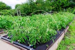 Θάμνοι ντοματών που αυξάνονται σε μια γεωργία πολυπροπυλενίου spunbond μη υφανθείσα Εμπόδιο ζιζανίων Στοκ φωτογραφίες με δικαίωμα ελεύθερης χρήσης
