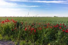 Θάμνοι παπαρουνών με τον τομέα που καλλιεργείται Στοκ εικόνες με δικαίωμα ελεύθερης χρήσης