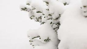 Θάμνοι πυξαριού κάτω από το χιόνι, κινηματογράφηση σε πρώτο πλάνο Τηλεοπτικό πλήρες hd απόθεμα βίντεο