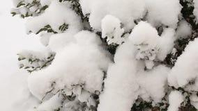 Θάμνοι πυξαριού κάτω από το χιόνι, κινηματογράφηση σε πρώτο πλάνο Τηλεοπτικό πλήρες hd φιλμ μικρού μήκους