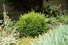 Θάμνοι πυξαριού στο σχέδιο κήπων τοπίων Στοκ Εικόνα