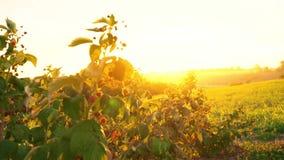Θάμνοι σμέουρων στις ακτίνες του ήλιου ρύθμισης, ηλιοβασίλεμα πέρα από τη φυτεία σμέουρων, αυγή σε έναν τομέα όπου σμέουρα απόθεμα βίντεο