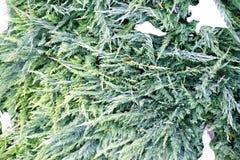 Θάμνοι του πράσινου ιουνιπέρου το άσπρο χιόνι που διανθίζεται με Στοκ Φωτογραφία