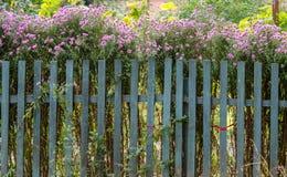 Θάμνοι των ιωδών λουλουδιών κήπων Στοκ Φωτογραφία
