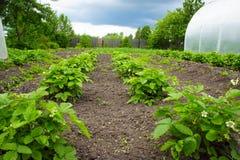 Θάμνοι των φραουλών με ένα λουλούδι στον κήπο Στοκ Εικόνες