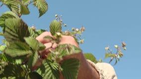 Θάμνοι των fruiting σμέουρων με τα πράσινα μούρα φιλμ μικρού μήκους