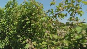Θάμνοι των fruiting σμέουρων με τα πράσινα μούρα απόθεμα βίντεο