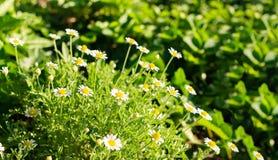 Θάμνοι φρέσκου άσπρου chamomile σε έναν πράσινο χορτοτάπητα ή το χορτοτάπητα Αγροτικά λουλούδια στον ανοιχτό χώρο Εκλεκτική εστία στοκ φωτογραφίες με δικαίωμα ελεύθερης χρήσης