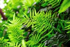 Θάμνοι φτερών στο τροπικό δάσος - aquilinum Pteridium Φιλτραρισμένη εικόνα: επεξεργασμένη σταυρός επίδραση Στοκ Φωτογραφίες
