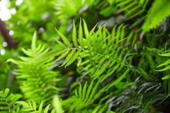 Θάμνοι φτερών στο τροπικό δάσος - aquilinum Pteridium Στοκ Εικόνα