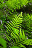 Θάμνοι φτερών στο φυσικό περιβάλλον - aquilinum Pteridium Στοκ Φωτογραφίες