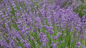 Θάμνοι lavender μια θερινή ημέρα απόθεμα βίντεο