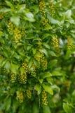 Θάμνος άνοιξη που ανθίζει την άνοιξη με κίτρινο λουλούδι-Mahonia στοκ εικόνα