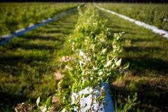 Θάμνος βακκινίων με τα άνθη την πρώιμη άνοιξη Στοκ φωτογραφίες με δικαίωμα ελεύθερης χρήσης