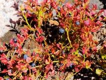 Θάμνος βακκινίων με τα κόκκινα φύλλα Στοκ φωτογραφίες με δικαίωμα ελεύθερης χρήσης