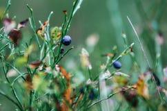 Θάμνος βακκινίων με τα ώριμα μούρα το φθινόπωρο στο δάσος, Λευκορωσία Στοκ Εικόνες