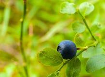 Θάμνος βακκινίων με φρούτα μυρτίλλων στο δάσος Στοκ Φωτογραφία