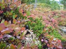 Θάμνος βακκινίων το φθινόπωρο Στοκ φωτογραφία με δικαίωμα ελεύθερης χρήσης