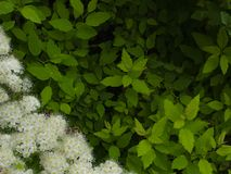 Θάμνος κήπων με τα λουλούδια και τα φύλλα για τη χρήση ως κενό κενό για την επικάλυψη κειμένων στοκ φωτογραφία