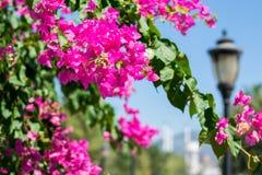 Θάμνος λουλουδιών Bougainvillea στο υπόβαθρο της ανατολής θερέτρου ` s Στοκ εικόνες με δικαίωμα ελεύθερης χρήσης
