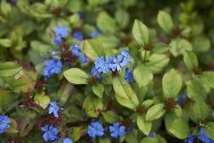 Θάμνος με την μπλε επάνθιση Στοκ εικόνες με δικαίωμα ελεύθερης χρήσης