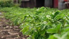 Θάμνος πατατών στον κήπο φιλμ μικρού μήκους