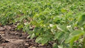 Θάμνος πατατών στον κήπο απόθεμα βίντεο
