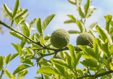 Θάμνος πικρών πορτοκαλιών - trifoliata poncirus Στοκ Εικόνα