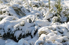 Θάμνος που καλύπτεται αειθαλής με το χιόνι Στοκ Εικόνες