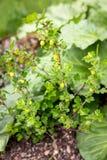 Θάμνος ριβησίων στον κήπο, πράσινη ανάπτυξη ριβησίων στοκ εικόνες
