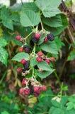 Θάμνος του Blackberry Ανάπτυξη των μούρων στον κήπο φρούτων Στοκ εικόνες με δικαίωμα ελεύθερης χρήσης