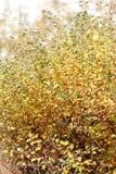 Θάμνος φθινοπώρου με τα πράσινα και κίτρινα sheeets Στοκ εικόνα με δικαίωμα ελεύθερης χρήσης
