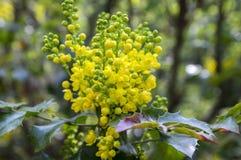 Θάμνος aquifolium Mahonia με το κίτρινο λουλούδι Στοκ Εικόνες