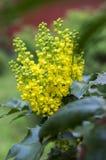 Θάμνος aquifolium Mahonia με το κίτρινο λουλούδι Στοκ εικόνες με δικαίωμα ελεύθερης χρήσης