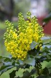 Θάμνος aquifolium Mahonia με το κίτρινο λουλούδι Στοκ Εικόνα