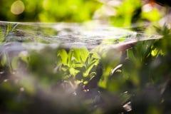 Θάμνος Buxus sempervirens - μακρο λεπτομέρειες με το spiderweb Στοκ Φωτογραφίες