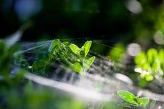 Θάμνος Buxus sempervirens - μακρο λεπτομέρειες με το spiderweb Στοκ Φωτογραφία