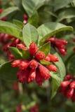 Θάμνος Cestrum με τα κόκκινα λουλούδια Στοκ φωτογραφίες με δικαίωμα ελεύθερης χρήσης